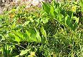 Plant in nature reserve Macie diery (4).jpg