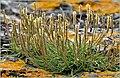 Plantago maritima plant (36).jpg