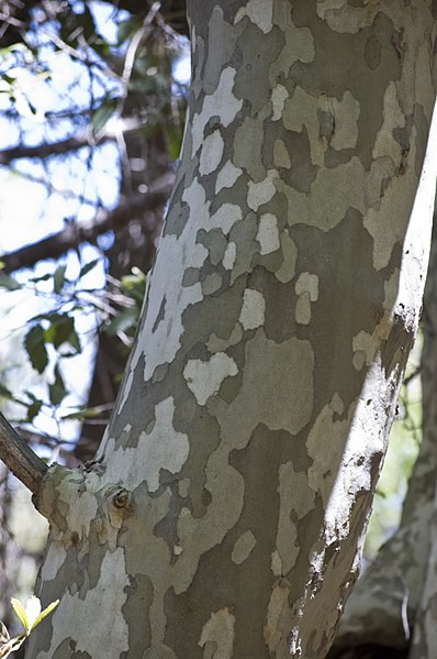 File:Platanus wrightii bark.jpg