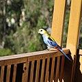 Platycercus adscitus -Brisbane, Queensland, Australia-8 (3).jpg