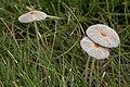 Pleated Inkcap (Parasola plicatilis) - Saskatoon, Saskatchewan 2014-08-28 (01).jpg