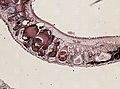 Pleioplana atomata (YPM IZ 073711) 22.jpeg