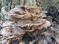 Pleurotus ostreatus 110409156.jpg