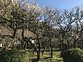 Plum trees in Dazaifu Temman Shrine 7.jpg