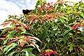 Poinsettia (46130772542).jpg