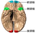 Poles of cerebral hemispheres - inferiror view.png