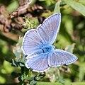 Polyommatus icarus U-20150617.jpg