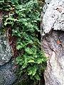 Polypodium virginianum (5382723883).jpg