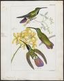 Polytmus prevostii - 1820-1860 - Print - Iconographia Zoologica - Special Collections University of Amsterdam - UBA01 IZ19100047.tif