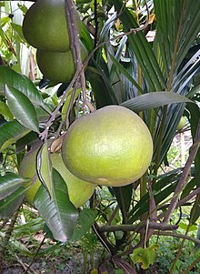 Pomelo Tree Pictures
