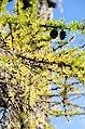 Ponderosa Pine Detail-Ochoco (26408296496).jpg
