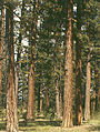 Ponderosa pine, Malheur National Forest, Grant County, OR 1a34227u original.jpg