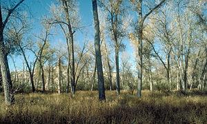 Populus deltoides - Populus deltoides subsp. monilifera