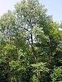 Populus x canescens JPG1Aa.jpg