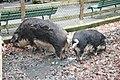 Porcs laineux.jpg