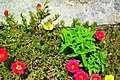 Portulaca grandiflora in Iran.jpg