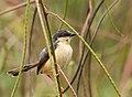 Prinia socialis -Yala National Park, Sri Lanka-8.jpg