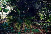 Pritchardia affinis, a critically endangered species endemic to the Hawaiian Islands.