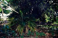 Pritchardia affinis.jpg