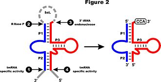 Transfer-messenger RNA - Processing of two-piece mt-tmRNA. The four major RNA processing sites are numbered (1-4). Processing at sites 1 and 4 is thought to occur by a tmRNA-specific activity, site 2 by RNase P and site 3 by a 3' tRNA endonuclease processing. Nucleotides cleaved from the precursor are in gray; the post-transcriptionally added CCA is boxed.