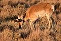 Pronghorn at Seedskadee National Wildlife Refuge (51134304823).jpg