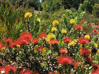Santa Cruz, California - Flowering Proteaceae at the UCSC Arboretum