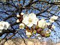 Prunus Armeniaca flowers.jpg