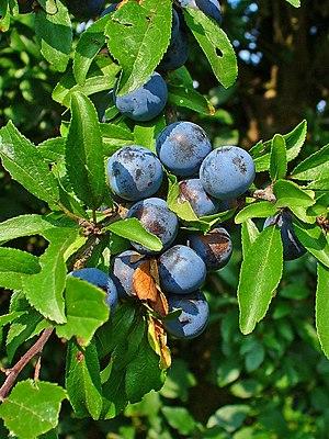 Târnava River - Image: Prunus spinosa 002