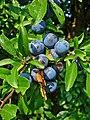 Prunus spinosa 002.jpg