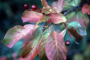 Northern Basin and Range ecoregion - Image: Prunus virginiana
