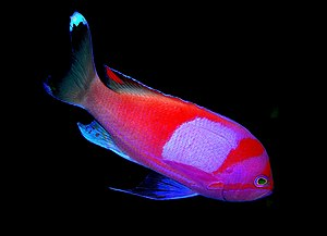A Squareback anthias