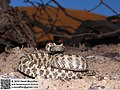 Pseudocerastes persicus By Omid Mozaffar (49820549382).jpg