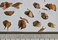 Pseudolarix amabilis seeds, by Omar Hoftun.jpg
