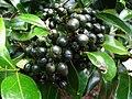 Psydrax odorata (5816464018).jpg
