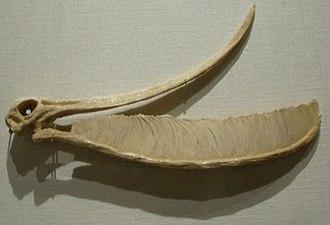 Pterodaustro - Restored skull