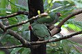 Ptilinopus jambu -Philadelphia Zoo, Pennsylvania, USA-8a (2).jpg