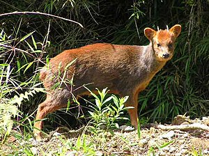 Conguillío National Park - Pudú in grassland