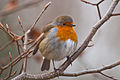 Puffed-Up Winter Robin.jpg