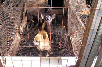 Puppy mill - Miniature breeds at a US puppy mill