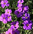 Purple flowers (3395831028).jpg