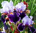 Purpleirises - West Virginia - ForestWander.jpg