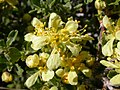 Purshia tridentata (5069017331).jpg
