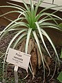 Puya venusta - Berlin Botanical Garden - IMG 8732.JPG