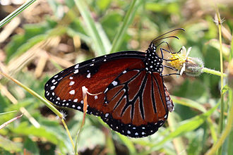Queen (butterfly) - Both on Grand Cayman