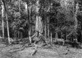 Queensland State Archives 1290 A Penda Tree in the Jungle Malanda NQ c 1935.png