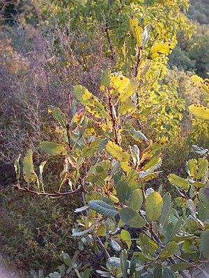 Quercus infectoria - Image: Quercus boissieri galls 2