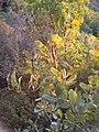 Quercus boissieri galls 2.JPG