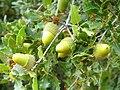 Quercus coccifera Bellotas 2010-10-03 DehesaBoyaldePuertollano.jpg