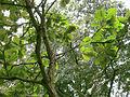 Quercus dentata (keisaraeik) 3.jpg