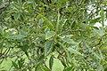 Quercus libani kz02.jpg